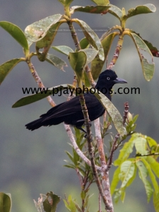 amazonian umbrellabird, cotinga, bird, ecuador, photograph, nature, wildlife