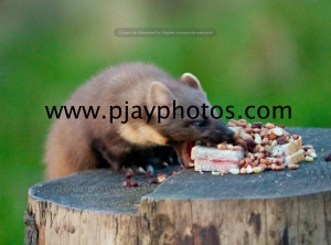 pine marten, mammal, scotland, great britain, wildlife, animal, photograph