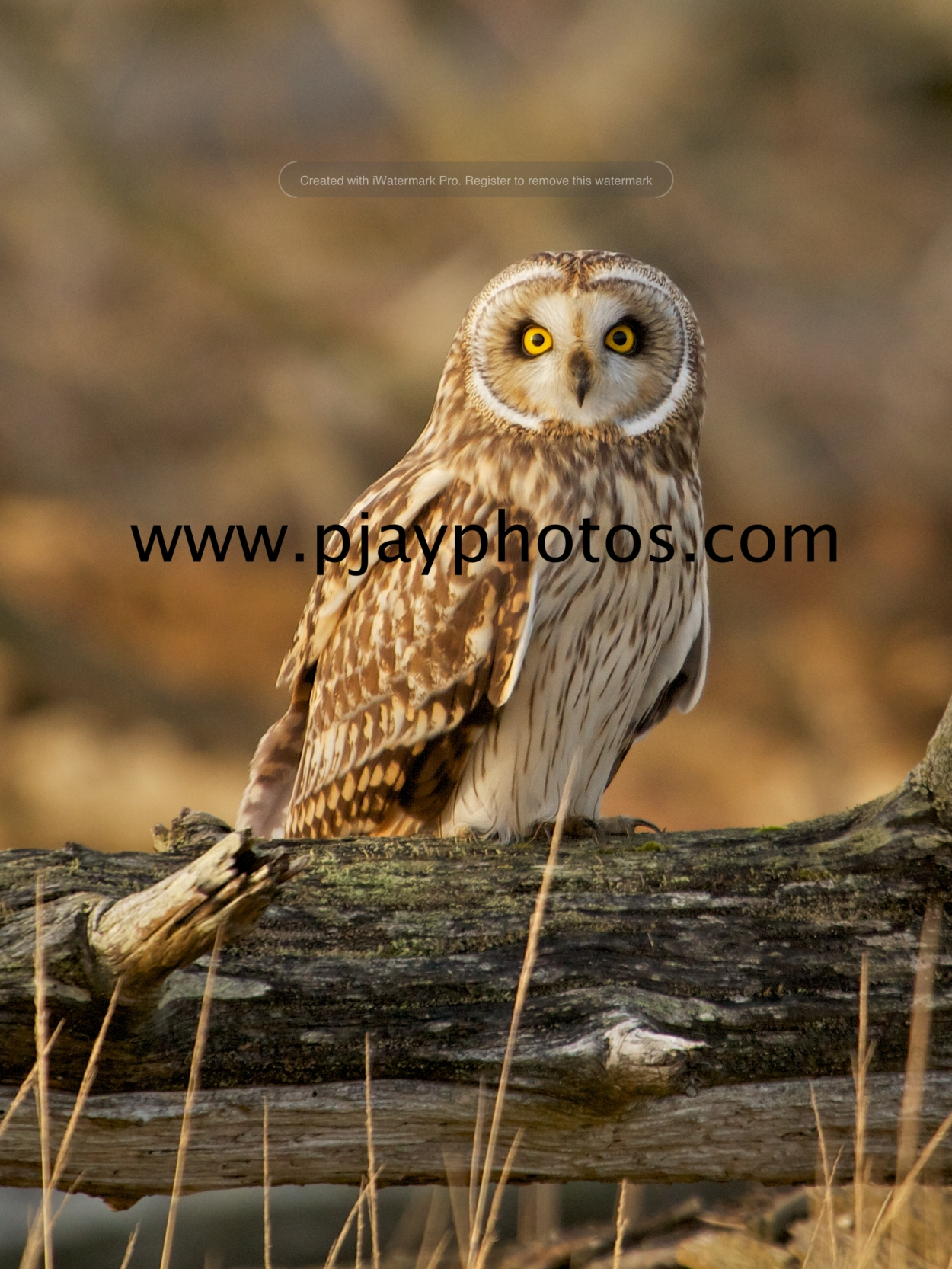 short-eared owl, owl, bird, scotland, uk, photograph, nature, wildlife