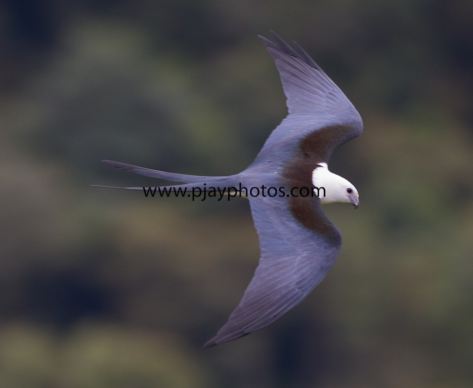 Kites In Nature Swallow-tailed kiteGeometric Kites In Nature