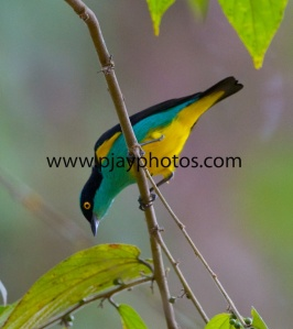 yellow-tufted dacnis, tanager, bird, ecuador, photograph, nature, wildlife