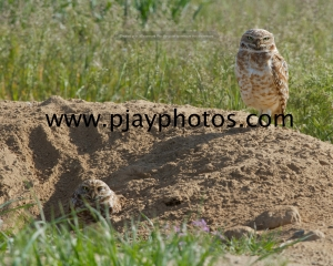 burrowing owl, owl, bird, usa, washington, nature, wildlife, photograph