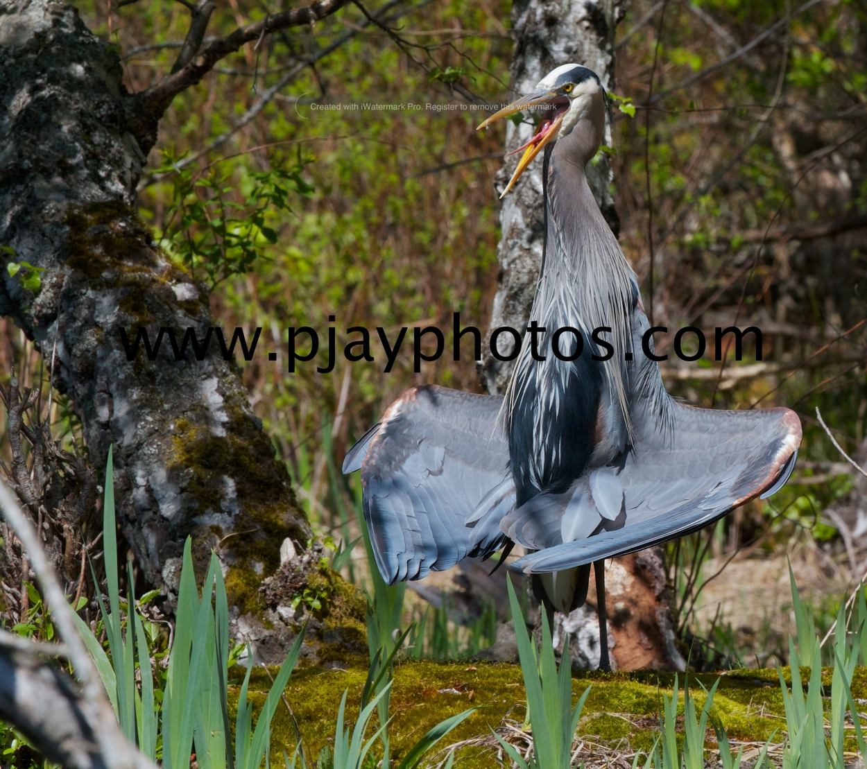 great blue heron, heron, bird, USA, seattle, washington, nature, wildlife, photograph