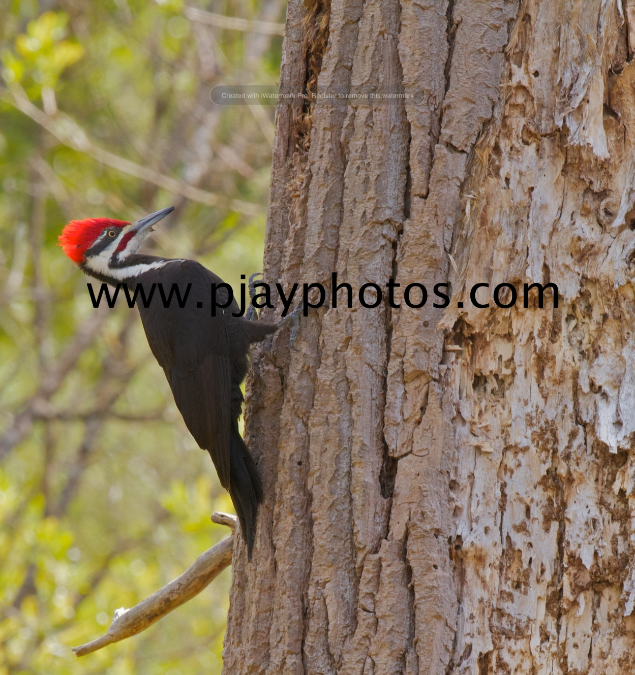 pileated woodpecker, woodpecker, bird, usa, washington, seattle, nature, wildlife, photograph