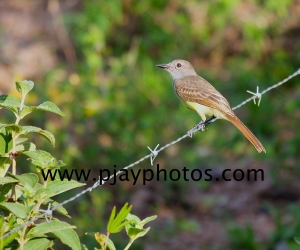 brown-crested flycatcher, tyrant flycatcher, flycatcher, bird, colombia, nature, wildlife, photograph