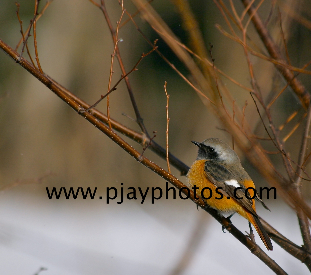 daurian redstart, redstart, bird, japan, nature, wildlife, photograph