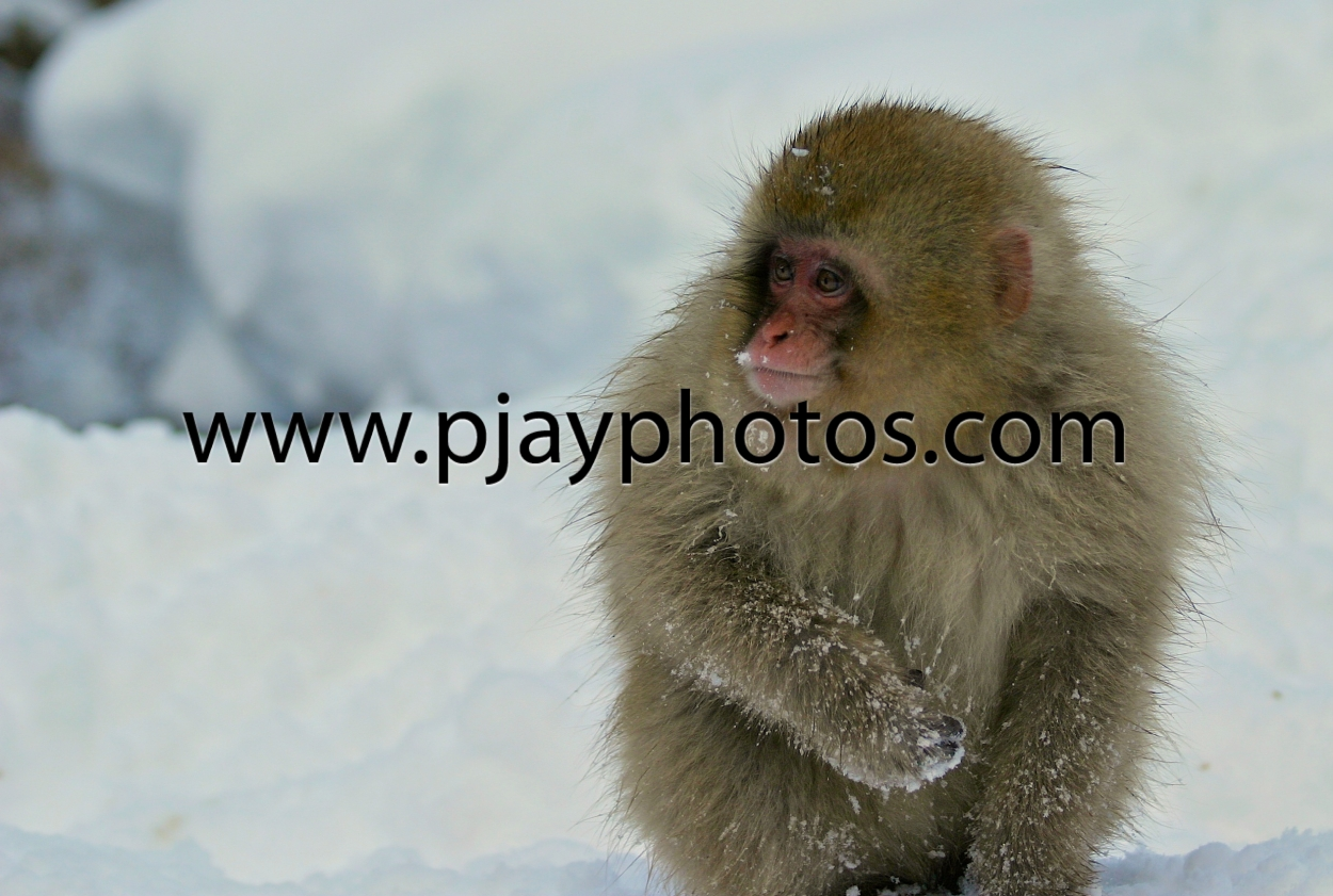 japanese macacque, snow monkey, monkey, macacque, japan, mammal, animal, nature, wildlife, photograph