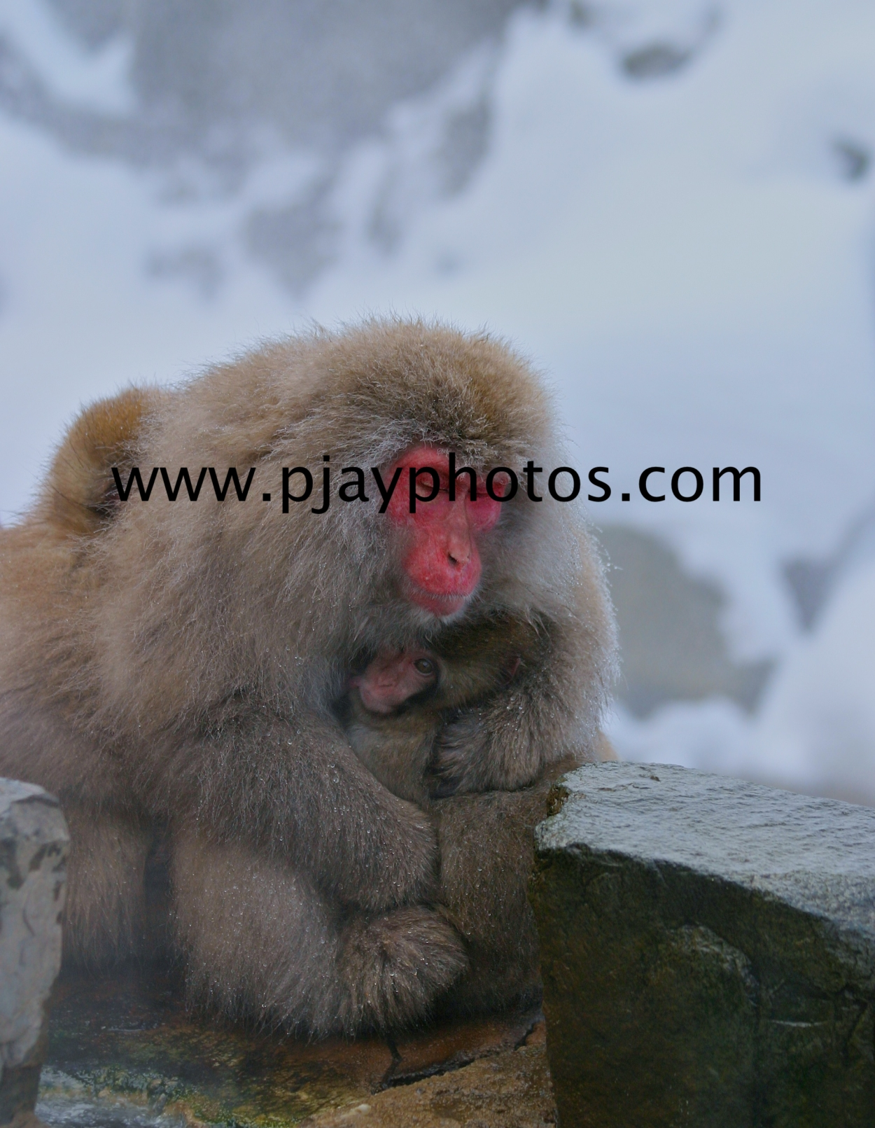 japanese macacque, macacque, monkey, snow monkey, mammal, japan, nature, wildlife, photograph