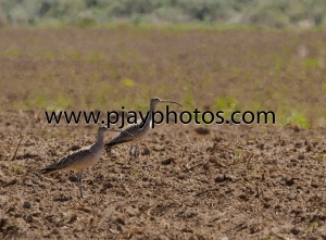long-billed curlew, curlew, wader, bird, usa, washington, nature, wildlife, photograph