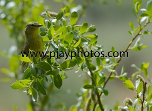 orange-crowned warbler, warbler, new world warbler, bird, usa, washington, nature, wildlife, photograph