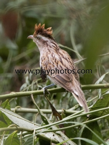 striped cuckoo, cuckoo, bird, ecuador, nature, wildlife, photograph