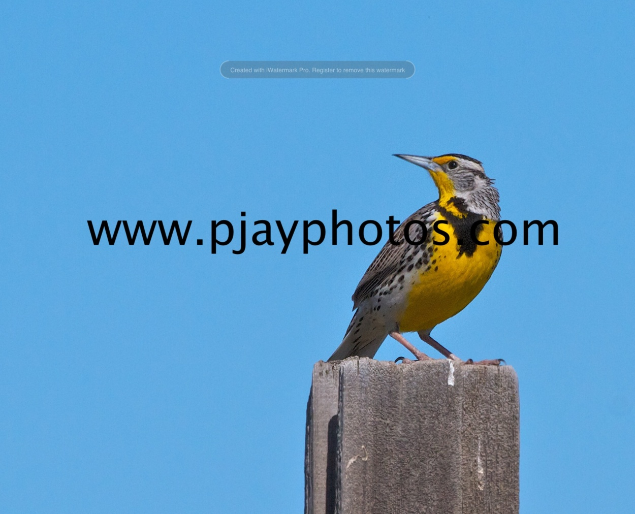 western meadowlark, meadowlark, bird, use, washington, nature, wildlife, photograph