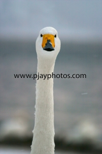 whooper swan, swan, bird, japan, nature, wildlife, photograph