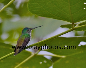 andean emerald, hummingbird, bird, colombia, nature, wildlife, photograph