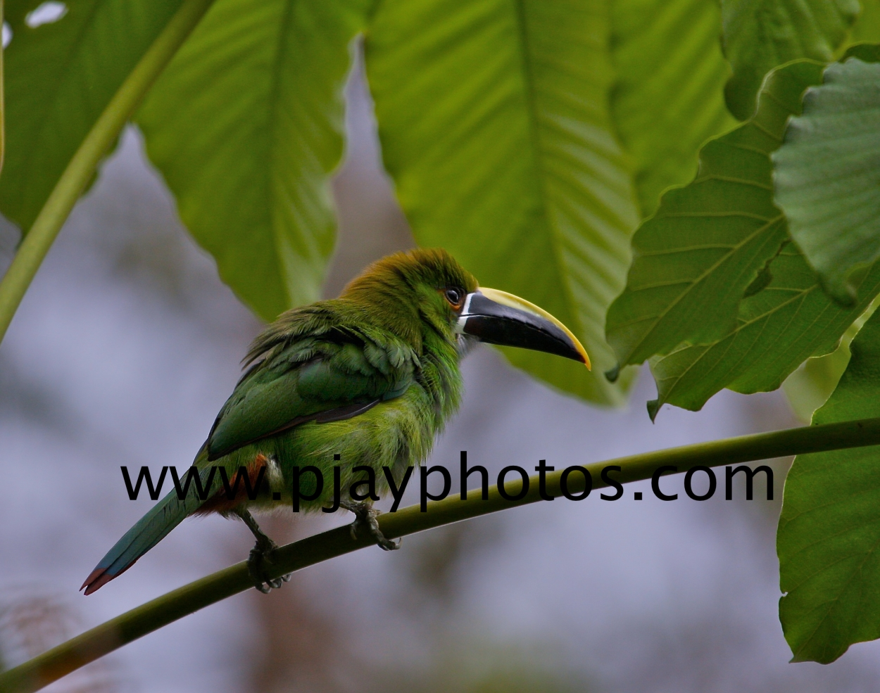 andean toucanet, toucanet, toucan, bird, colombia, nature, wildlife, photograph