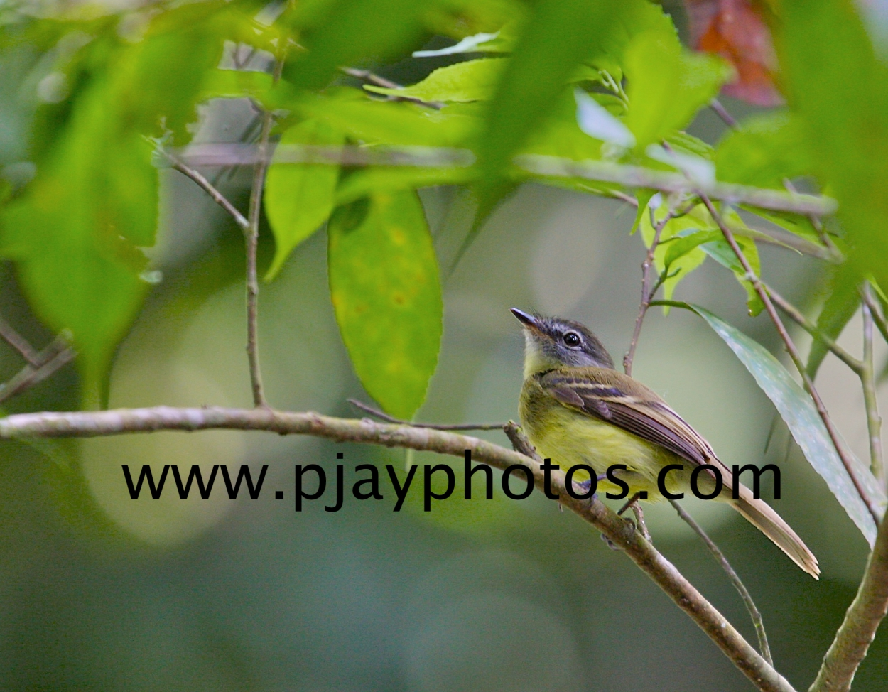black-billed flycatcher, tyrant flycatcher, flycatcher, bird, colombia, nature, wildlife, photograph