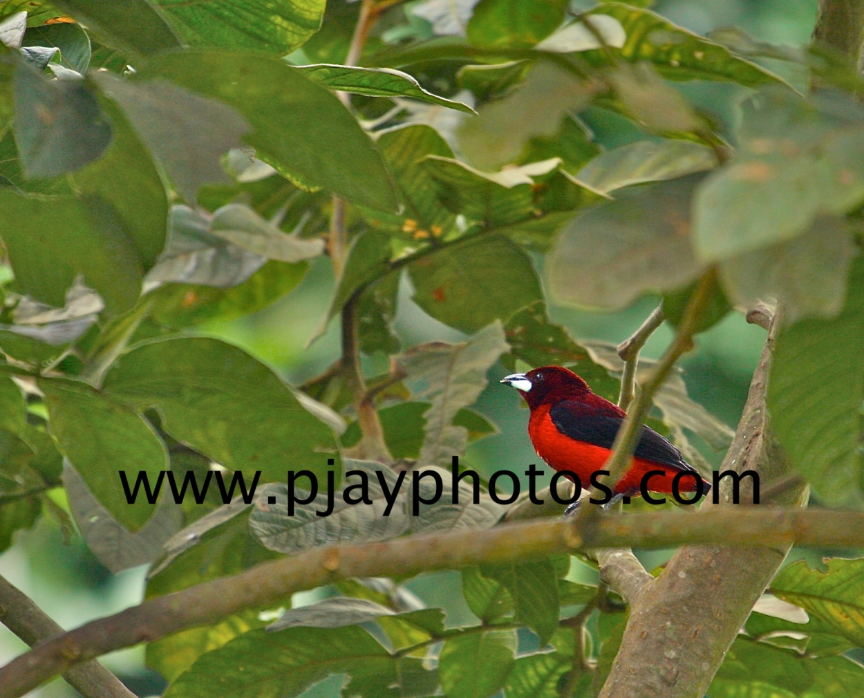crimson-backed tanager, tanager, bird, colombia, nature, wildlife, photograph