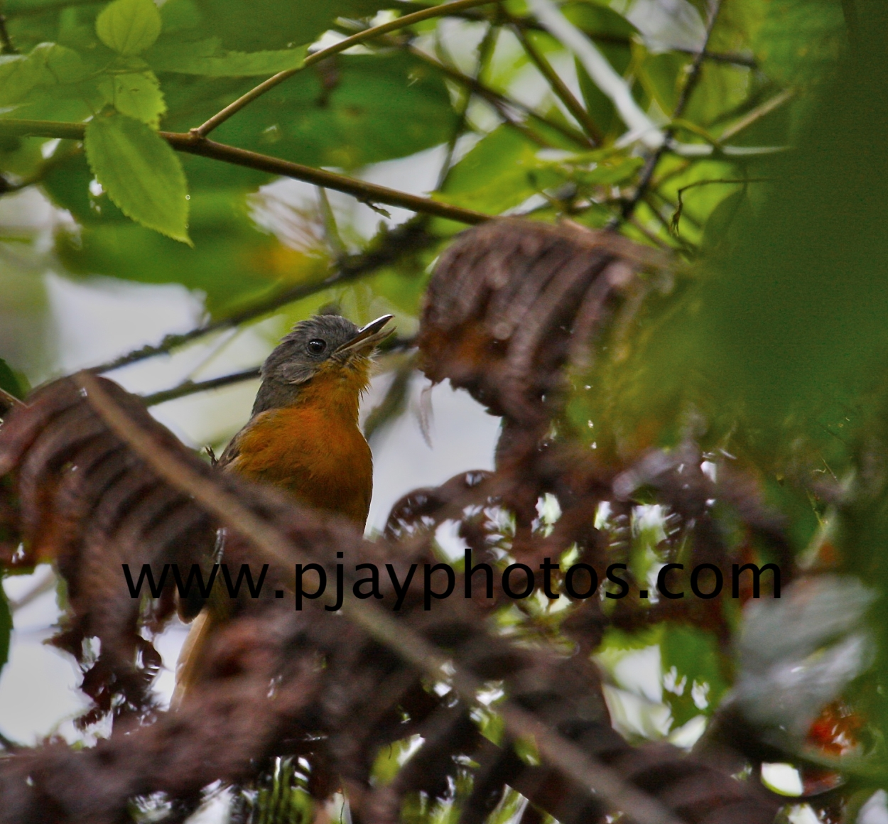 parker's antbird, antbird, bird, colombia, nature, wildlife, photograph