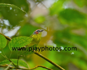 rufous-capped warbler, new world warbler, warbler, bird, colombia, nature, wildlife, photograph