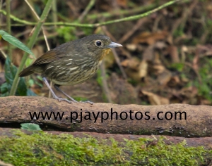 santa marta antpitta, antpitta, bird, colombia, nature, wildlife, photograph