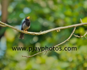 yellow-legged thrush, thrush, bird, colombia, nature, wildlife, photograph